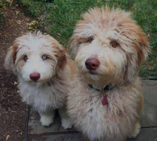 TWO AUSSIEDOODLE SISTERS