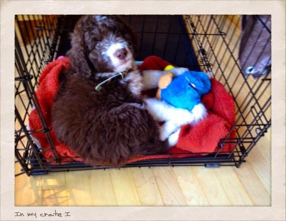 Aussiedoodle Puppy in his Midwest Crate using the divider