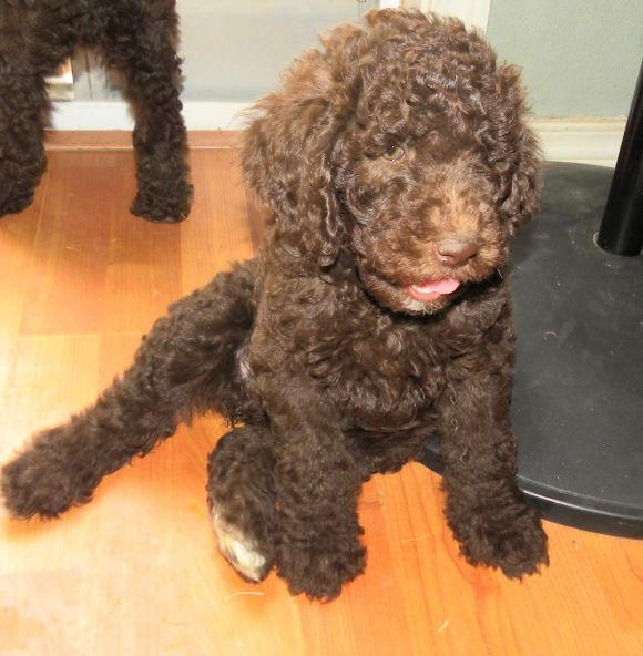 Ivy one of Daisy's Poodle daughters as a puppy.. such a sweetheart!!