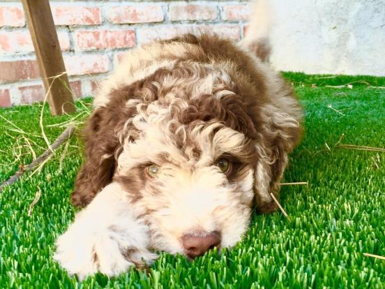RED MERLE LABRADOODLE PUPPY