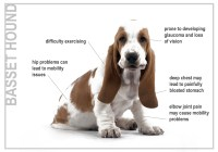 Problems common with Pure Bred Dogs - The Basset Hound