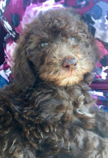 FREYA CHOCOLATE MULTIGEN LABRADOODLE PUPPY FROM KENZIE AND APOLLO 2019 DREAMYDOODLES.COM