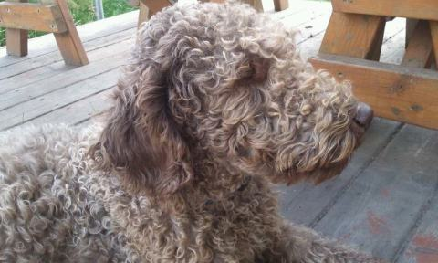 Tippy Rose - Labradoodle