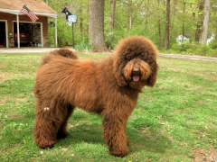 """Charlotte - F1B Labradoodle from Dreamydoodles """"Tippy"""""""