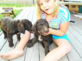 """""""Wags"""" she went home with her new family to Seattle Read more: https://www.dreamydoodles.com/2013-multi-gen-labradoodle-puppies-hershey-tippy/#ixzz2ZkViFoLC Under Creative Commons License: Attribution Non-Commercial Share Alike Follow us: @Dreamydoodles on Twitter   DreamydoodlesNW on Facebook"""