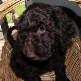 F1b Chocolate Labradoodle