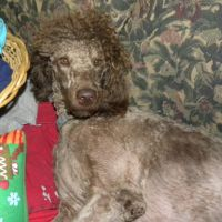 Tippy ...VERY short.. poodle cut...F1 Labradoodle