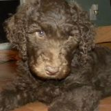 9 week old F1b Labradoodle