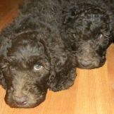 Red and Green Ribbon F1b Labradoodle Boys