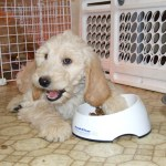 New Puppy Training Schedule Mini Aussiedoodles And Australian Labradoodle Puppies Best Aussiedoodle Breeders In Washington State Portland Oregon