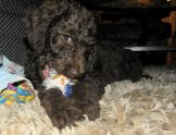 10 week old Chocolate Labradoodle Puppy Chewing a Toy