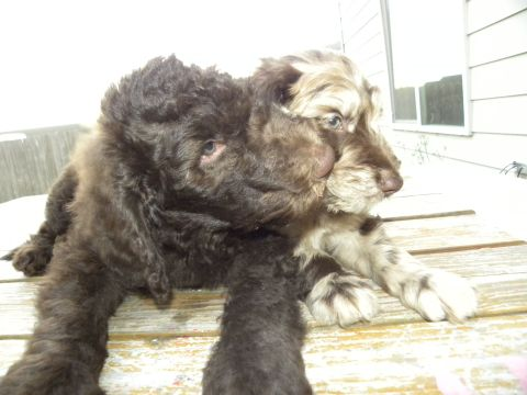 F1B Labradoodle Male Bruno and F1 Auussiedoodle Flower giving kisses...