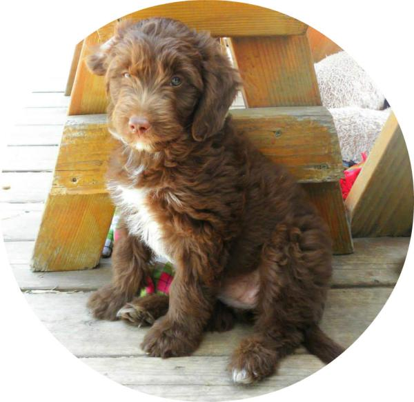 Mini F1 Aussiedoodle Puppies for Sale- Aussiedoodle and Labradoodle
