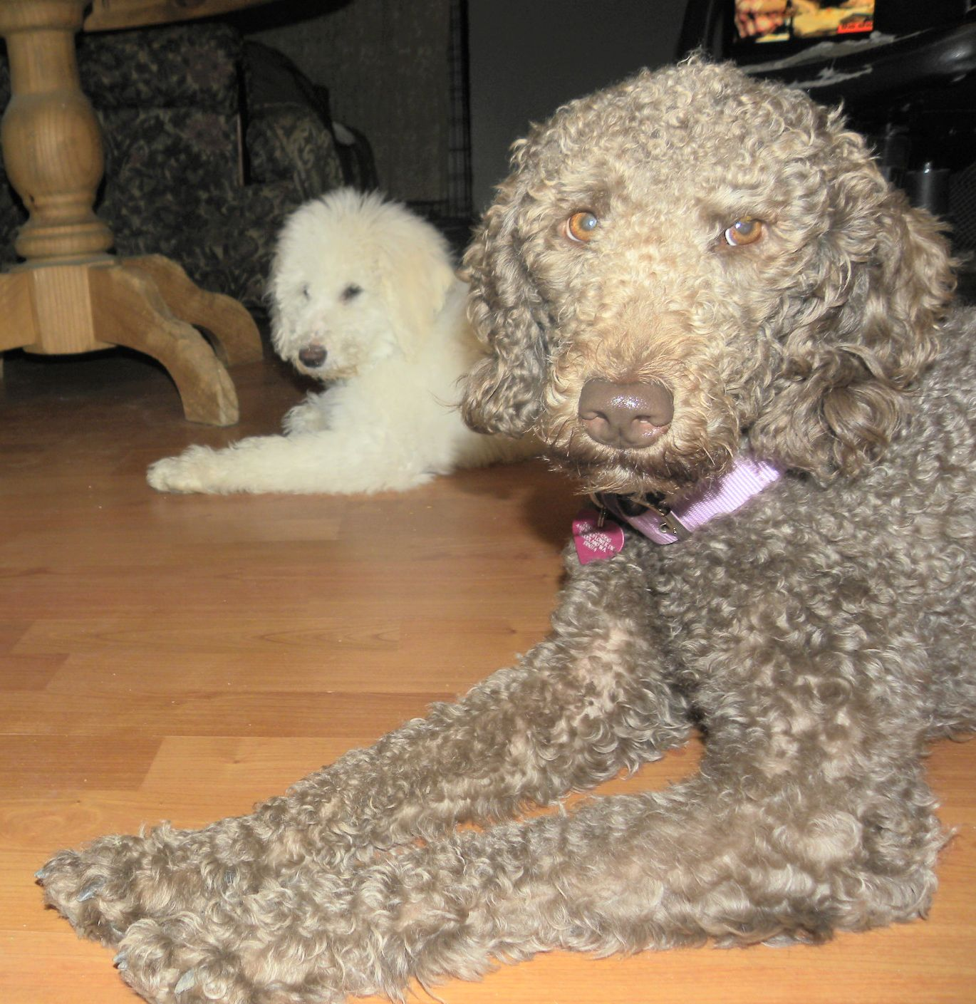 Tippy Rose F1b Labradoodle Aussiedoodle And Labradoodle