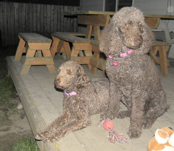 Tippy and Daisy (her standard poodle Mom)