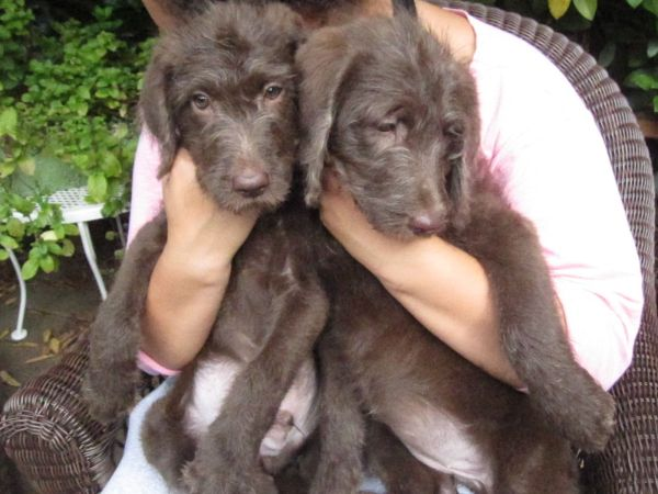 Chocolate F1 Labradoodle Puppies