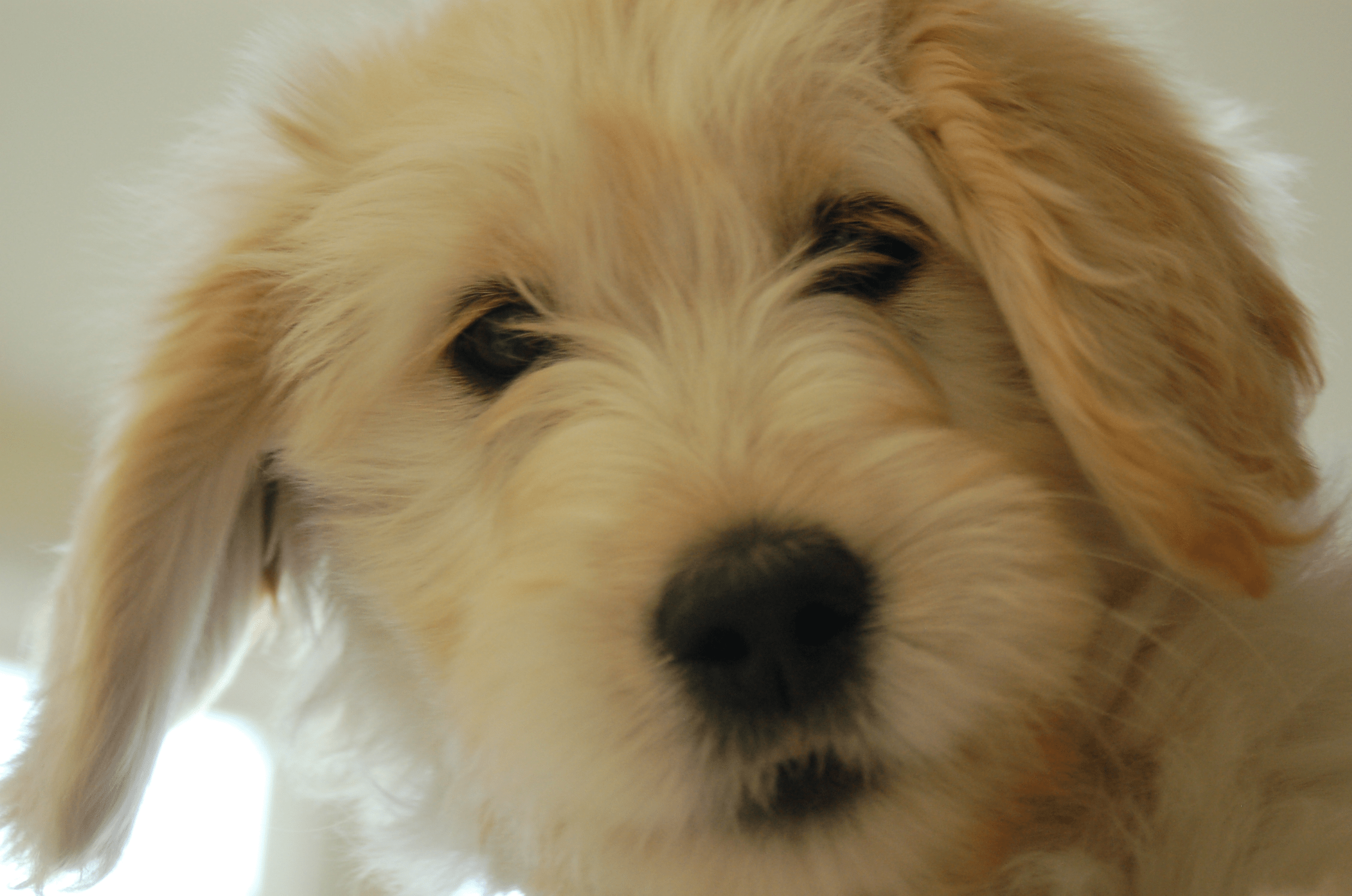 About goldendoodles aussiedoodle and labradoodle puppies best sweet goldendoodle nvjuhfo Images