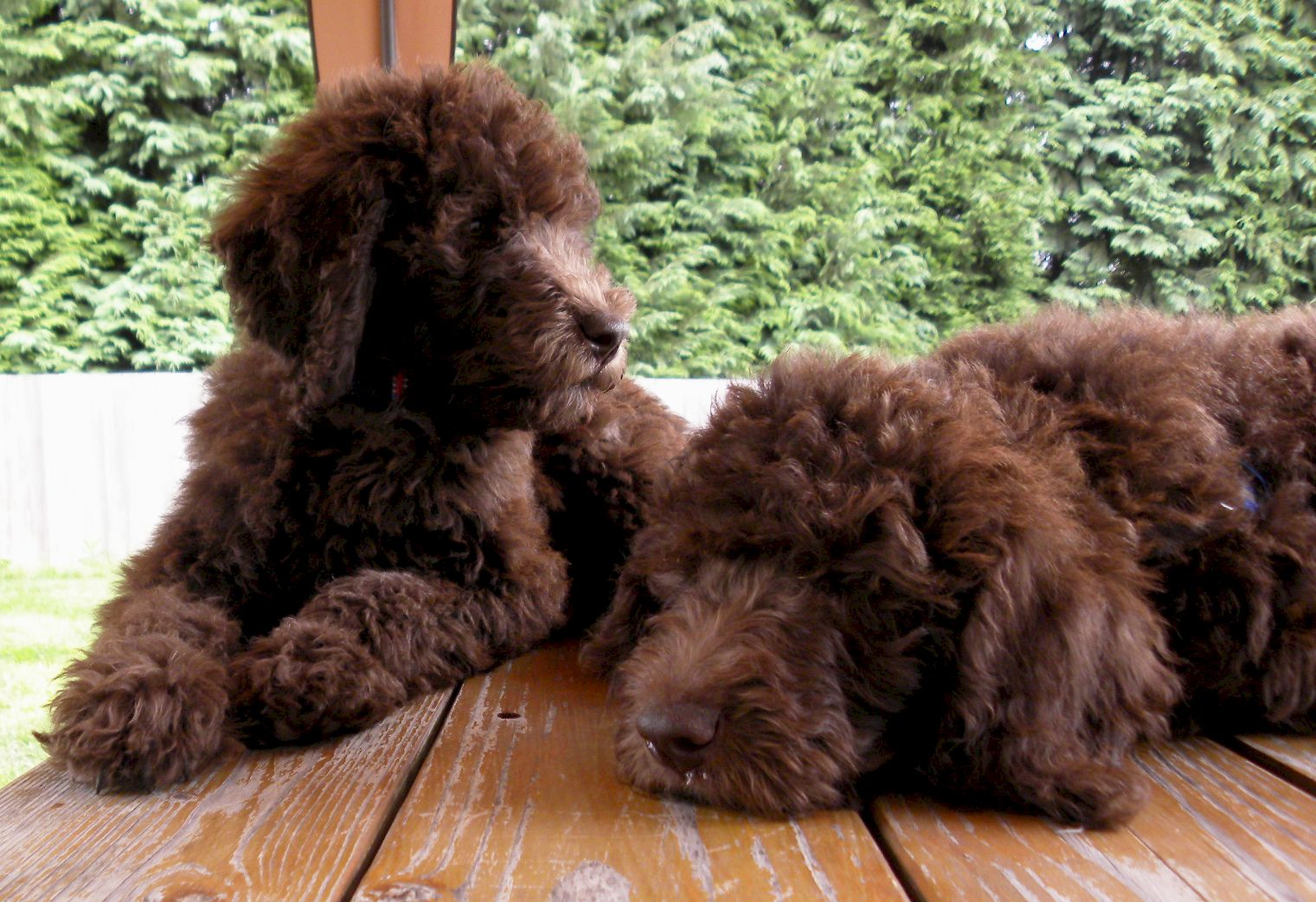 What Is The Difference Between The Australian Labradoodle