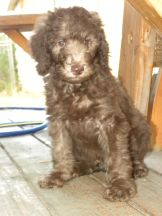 Blue Boy - F1b Labradoodle - Available