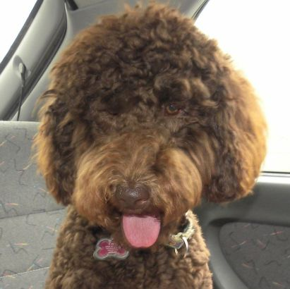 Loli - F1B Labradoodle from Tippy