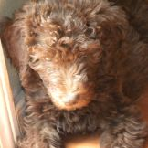 Tippy - 8 weeks old - F1b Labradoodle