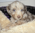Red Ribbon Merle Female SOLD
