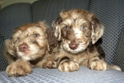 Sammy and Flower - 7wk old F1 Aussiedoodles