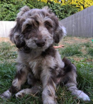 F1 Aussiedoodle Female Available