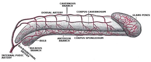 Penile Fracture, Erection Problems