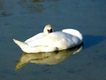 Schwan auf dem Teich