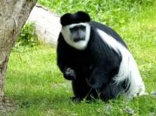 witziger Affe im Zoo Dresden