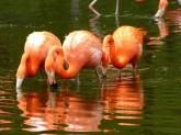 Flamingo im Wasser