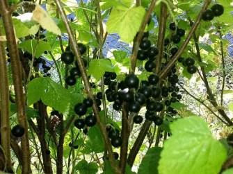 Schwarze Beeren