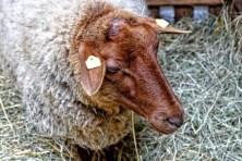 Schaf mit braunem Kopf