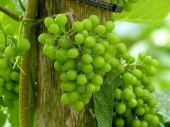Weinanbau an der Burg Kriebstein