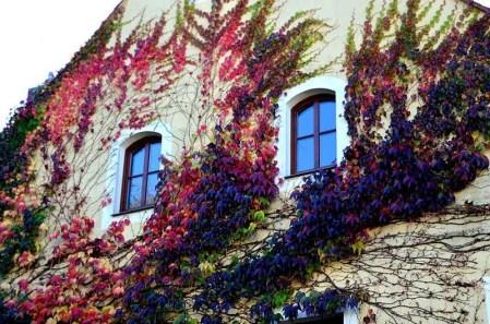 Wilder Wein an Hauswand