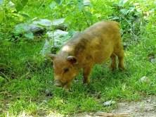Kleines Schwein allein unterwegs