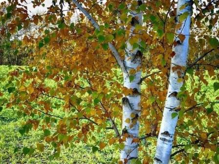 Birke Laub Blätter