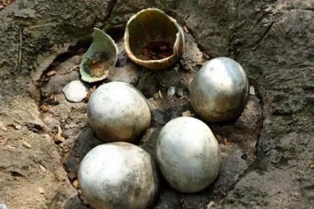 Saurier Eier