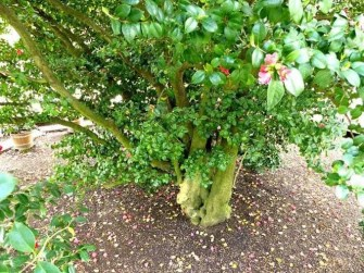 Stamm Kamelie Blätter Blüten Schloss Pillnitz