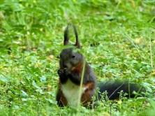 Essendes dunkelbraunes Eichhörnchen Schloss Pillnitz Wiese
