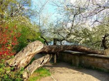 liegender Baum Schloss Pillnitz