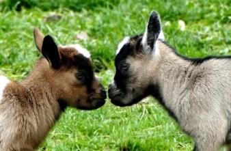 Junge Ziegen im Wildpark Osterzgebirge