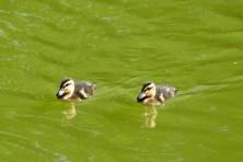 2 kleine Enten am Carolasee