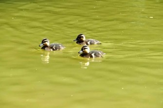 3 kleine Enten auf dem Carolasee