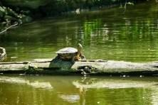 Schildkröte auf Holz im Wasser