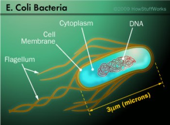 cell-ecoli