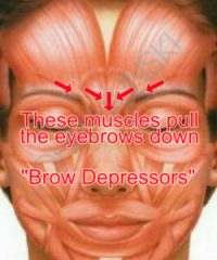 this matters because these groups of muscles act very differently when it  comes to facial movement  some muscles act as brow depressors and some act  as brow