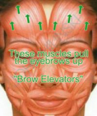 Brow Elevators