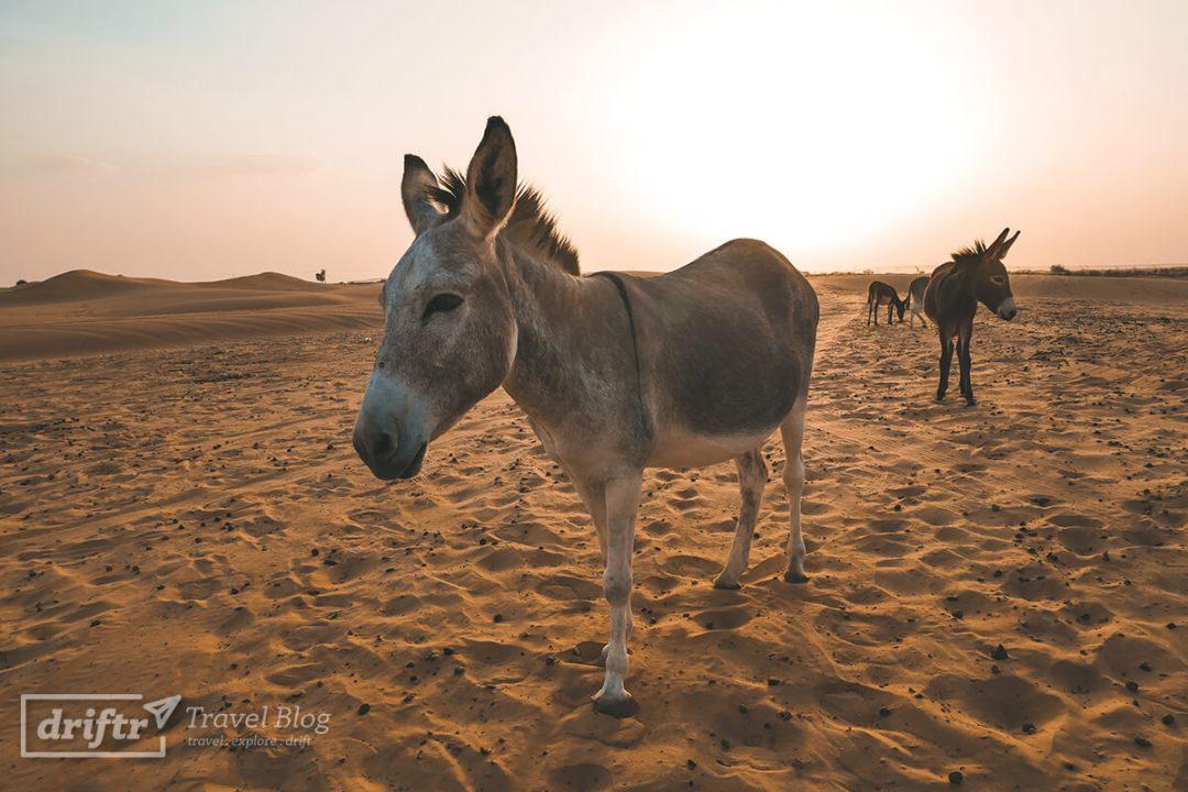 vereinzelte Esel in der Wüste